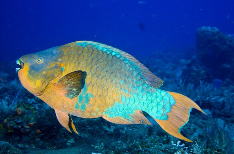 parrotfish - rainbow 2