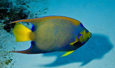 42-angelfish - queen