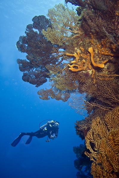 gorgonians 2