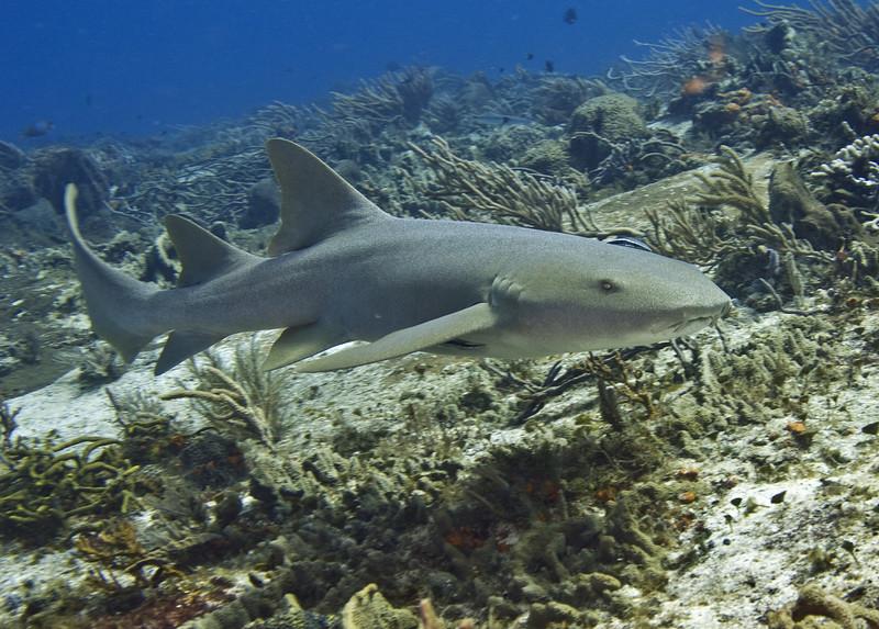57-shark1