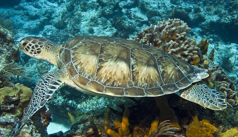 turtle - green 2