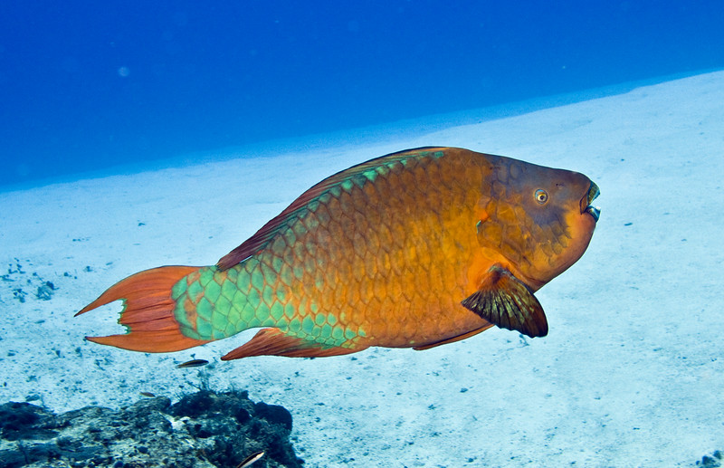 36-parrotfish - rainbow