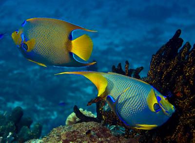 33-angelfish - queens
