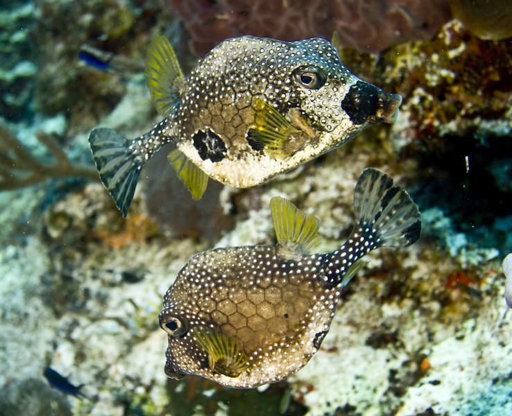 trunkfish - smooth