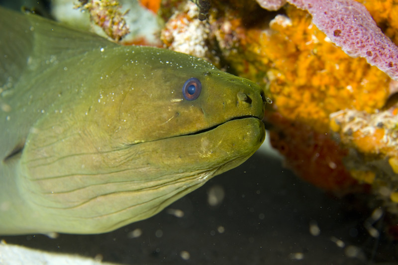 13-green moray eel