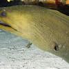 78-Moray eel 1
