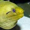 73-goby linesnout and moray eel