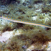 4-cornet fish