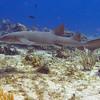 19-shark - nurse