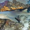 59-shark - nurse
