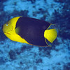 15-angelfish - rock beauty
