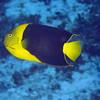 15-angelfish - rock beauty