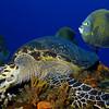 1-turtle - hawksbill turtle 4