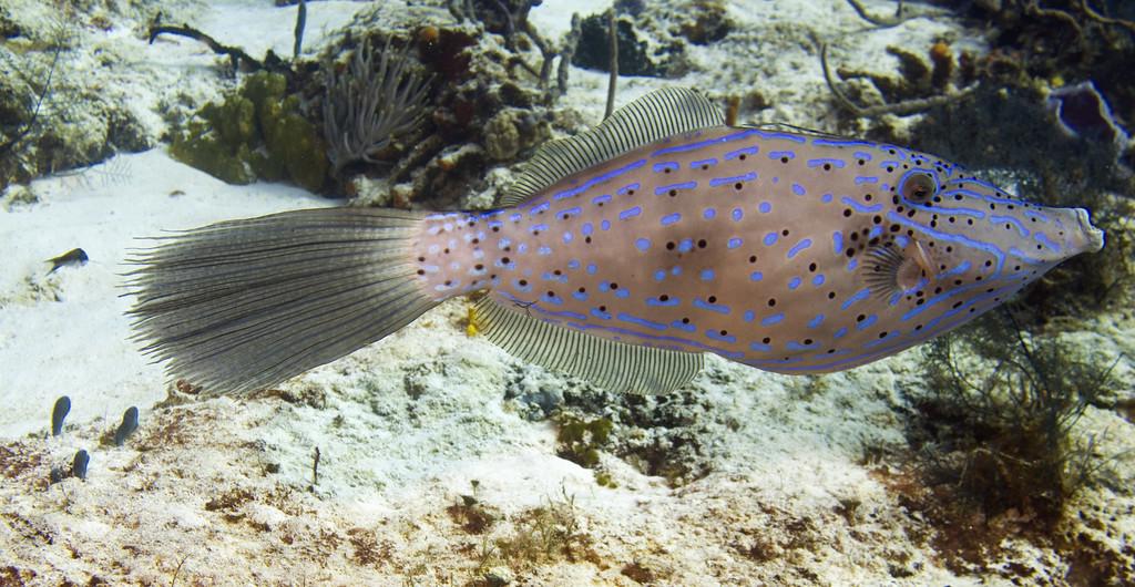 06-filefish - scrawled