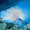 4-parrotfish - blue 2