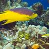 06-hogfish - spanish
