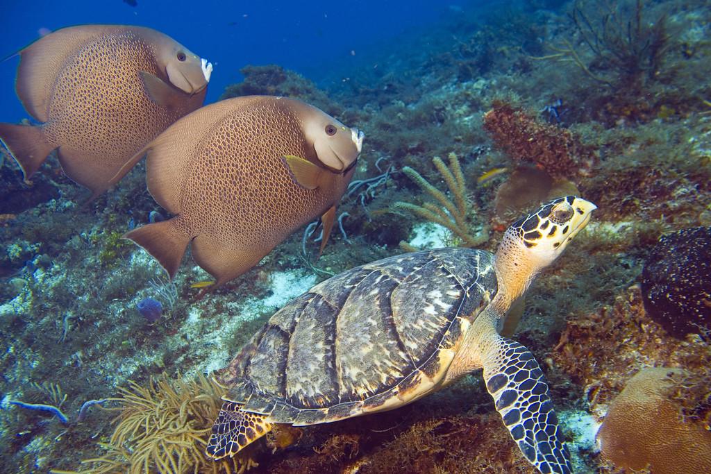 30-hawksbill turtle and gray angelfish