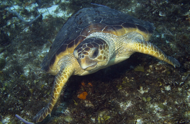 25-turtle - loggerhead female