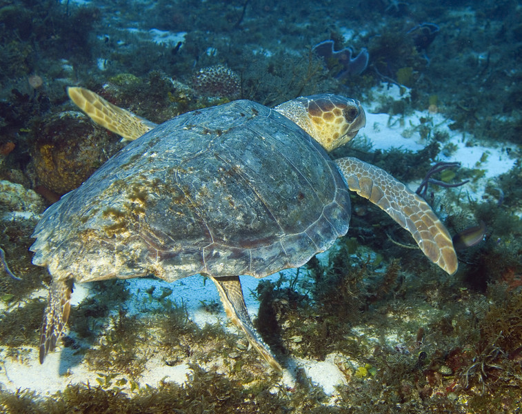 26-turtle - loggerhead female 2