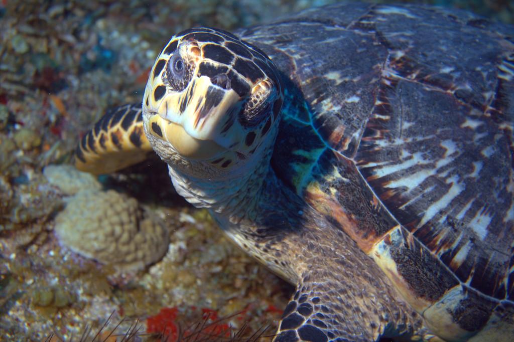 06-turtle - hawksbill