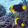 18-angelfish - rock beauty 2