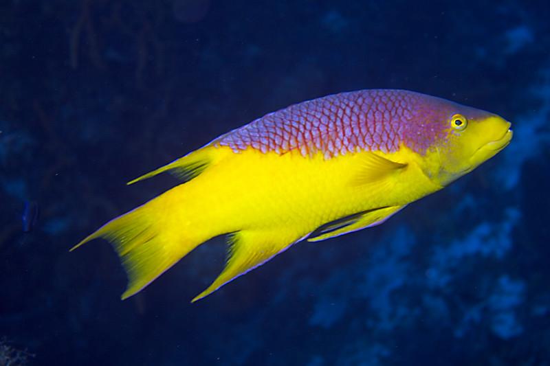 04-hogfish1