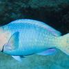 3-parrotfish - blue