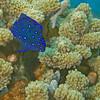 07-angelfish - yellow tail