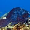 6-parrotfish - midnight blue