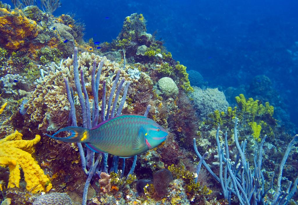 07-stoplight parrotfish