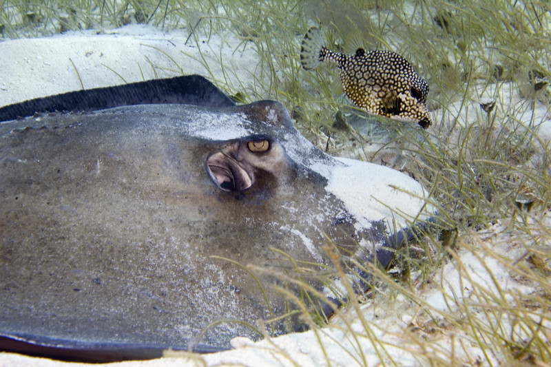 02-stingray - roughtail and smooth trunkfish