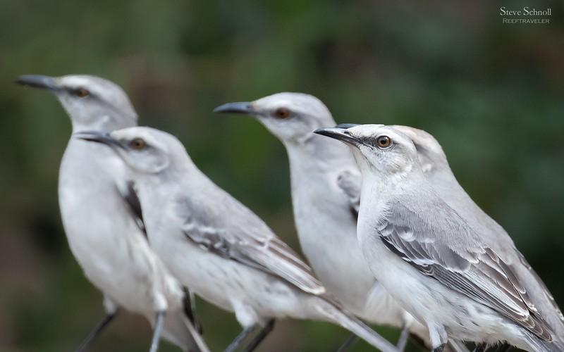 Tropical Mockingbird Quintet