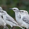 Tropical Mockingbird Quintet