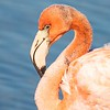 American Flamingo Portrait