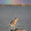 Yellow-crowned Night Heron under Rainbow