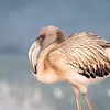 Juvenile Flamingo in the Surf