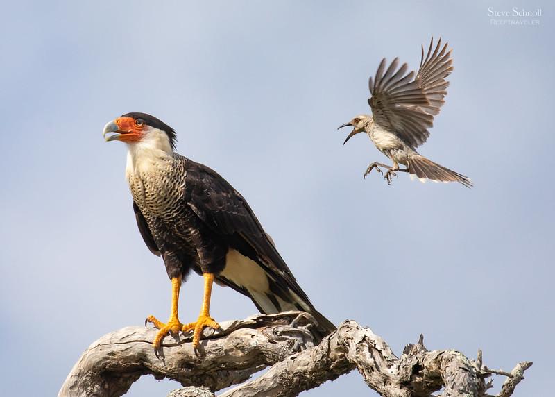 A Tropical Mockingbird Attacks a Crested Caracara