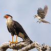 A Tropical Mockingbird Attacks a Crested Caracara