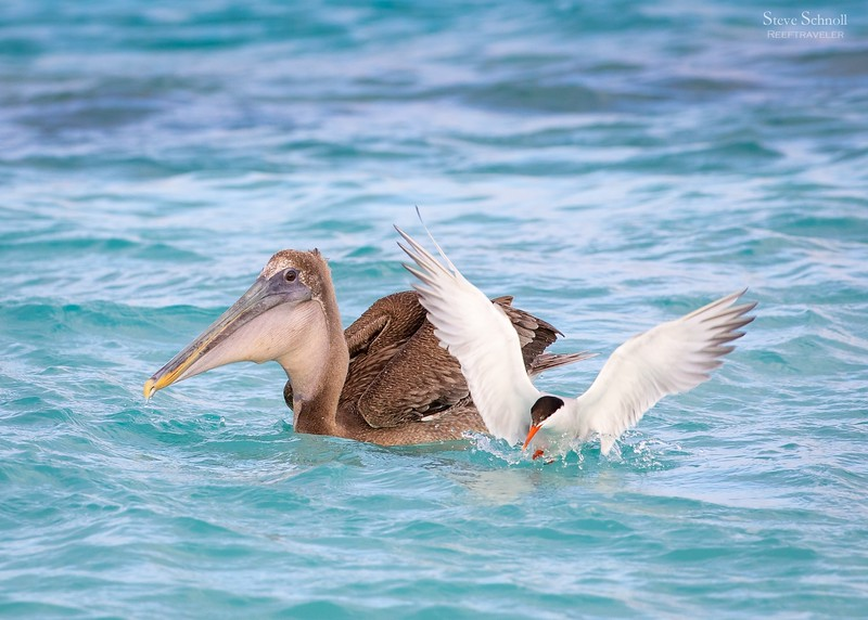 Pelican and Common Tern Fishing Together