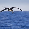 Frigatebird with Breakfast