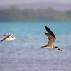Black Skimmer Chased by Royal Tern