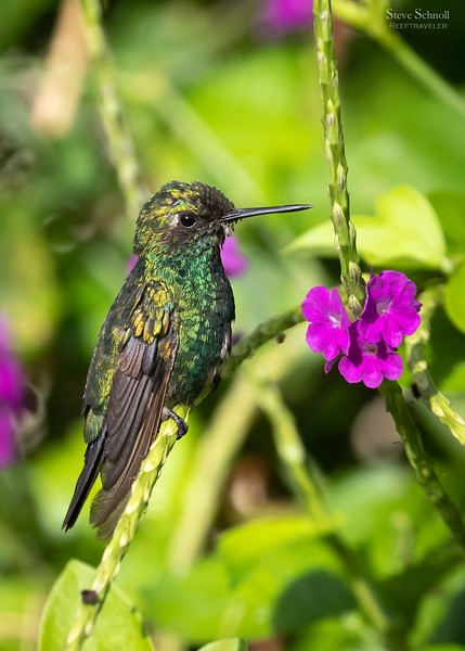 Blue-tailed Emerald Hummingbird (Male)