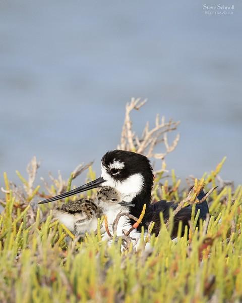 Black-necked Stilt with Chick