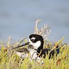 Black-necked Stilt with Chick