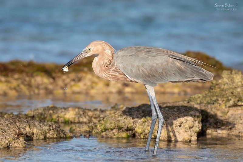 Reddish Egret with Sergeant Major Catch