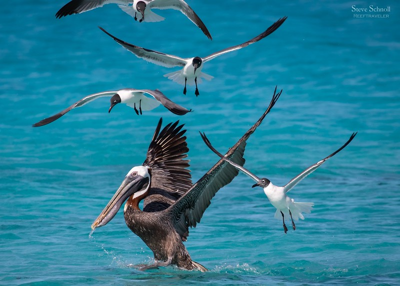 Pelican and friends