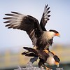 Crested Caracaras Mating