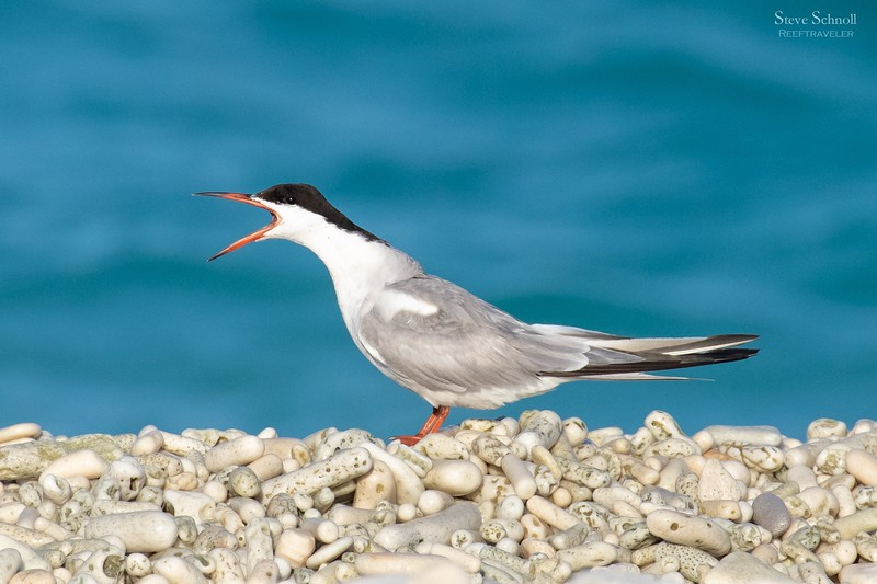 Common Tern on Coral Shore