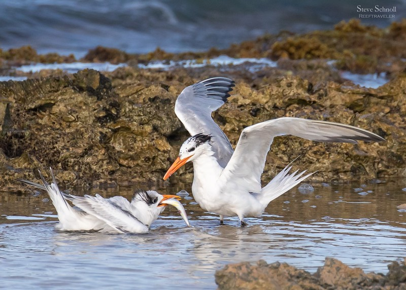 Royal Tern Feeding its Young