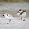 Snowy and Semipalpated Plovers